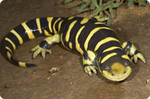 Тигровая саламандра