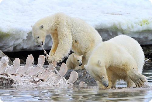 В российской Арктике пересчитают белых медведей