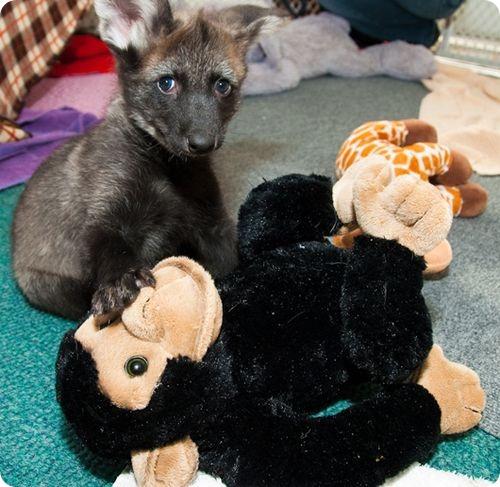 Дора и Диего, щенки гривистого волка
