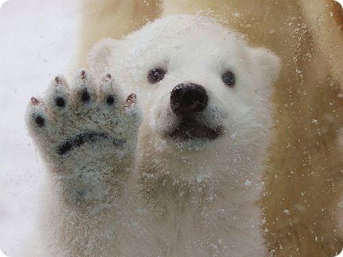 Полярный медвежонок радуется снегу
