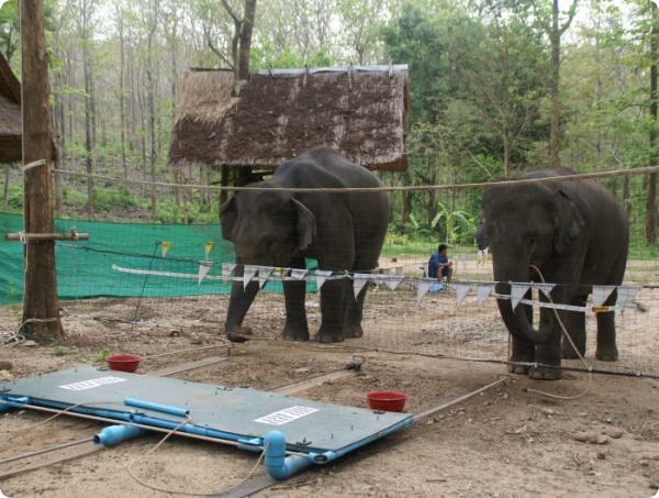 Слоны решают трудные задачи вместе