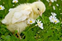 Цыплятам не нравится отсутствие логики
