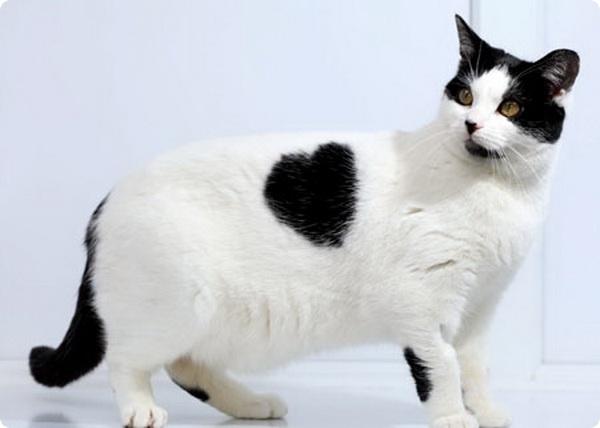 Удивительная кошка с сердцем на боку