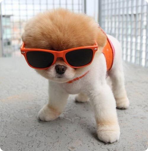 Бу – собака, которую любит facebook