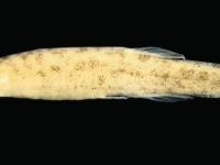 Новый вид сома из бассейна Амазонки