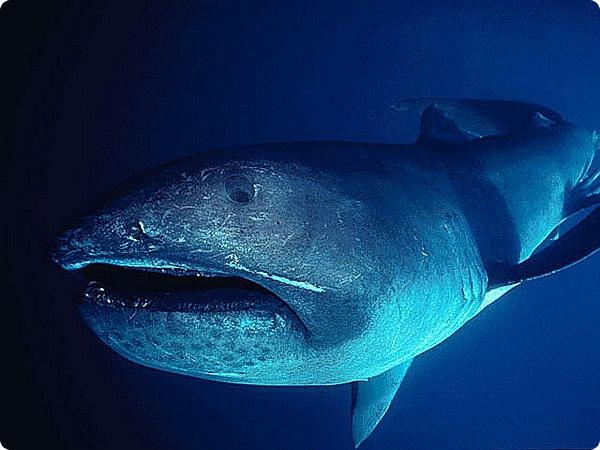 Для чего большеротой акуле огромный рот