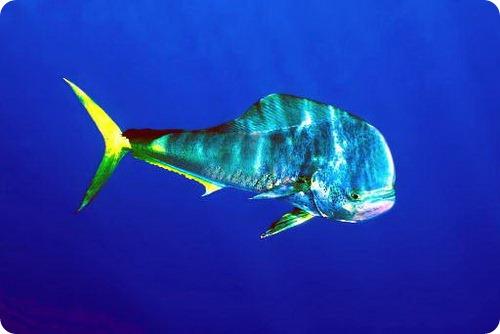 корифена рыба фото