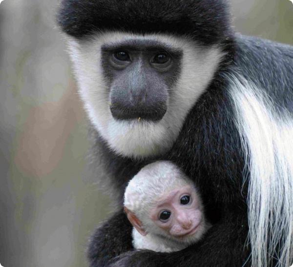Родился белоснежный детёныш гверецы
