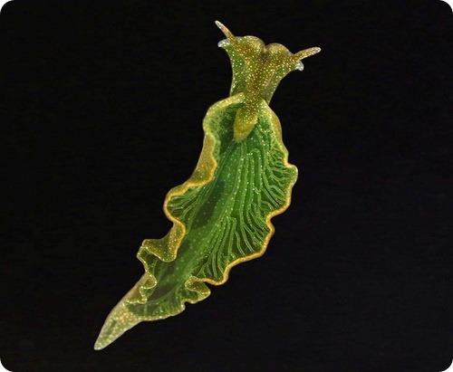 Морской слизень со способностью к фотосинтезу