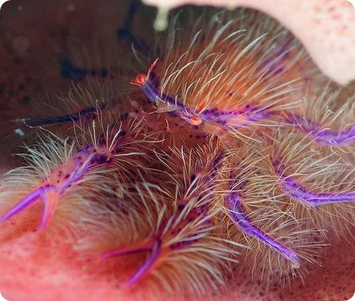 Розовый приседающий омар