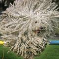 Комондор — венгерская овчарка