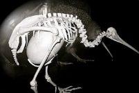Киви вынашивает самое большое яйцо среди всех птиц