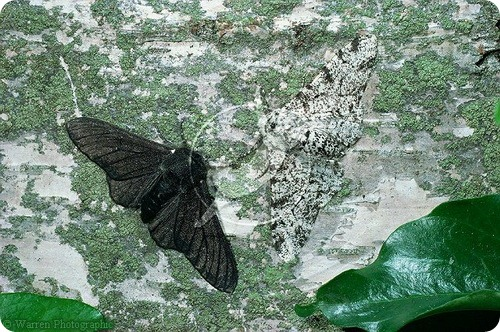 Бабочки приспособленки