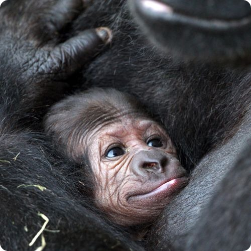 Два килограмма радости для гориллы Ланы