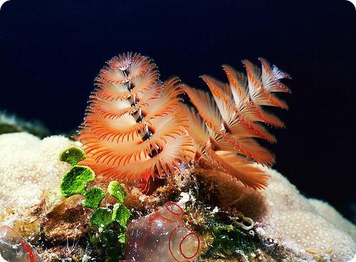 Трубчатый многощетинковый морской червь