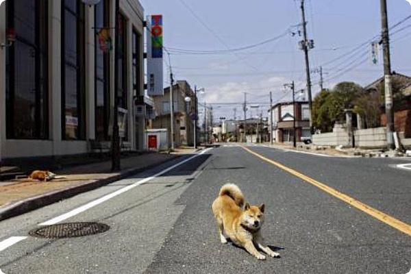 Можно ли спасти в Фукусиме брошенных  животных