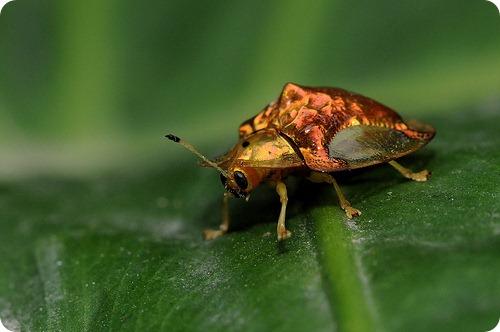 Щитоноски или жуки-черепахи