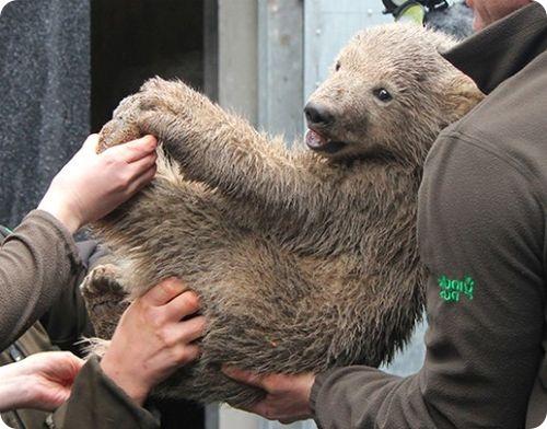 Полярный медвежонок прошел медосмотр
