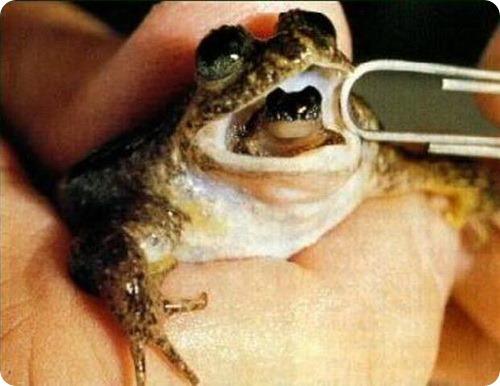 Заботливая лягушка (лат. Rheobatrachus)