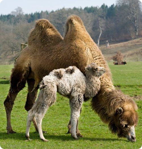 Верблюжий поцелуйчик