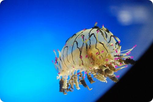 Медуза «цветочная шляпка»