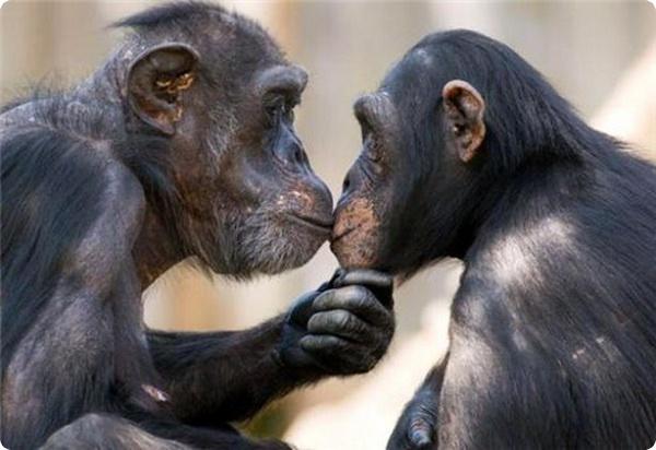 Шимпанзе и их социальные отношения