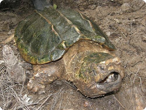 Грифовая черепаха