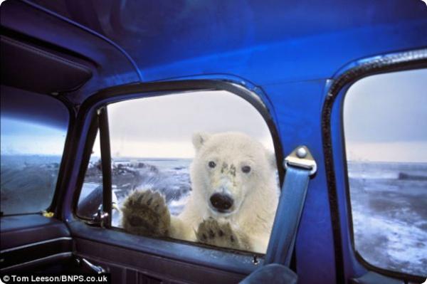 Встреча с полярным медведем...