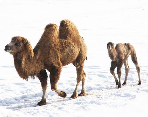 Детеныш двугорбого верблюда в снегах Миннесоты