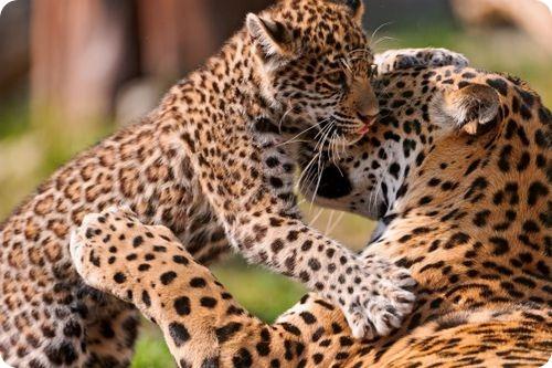 Два котенка Ягуара