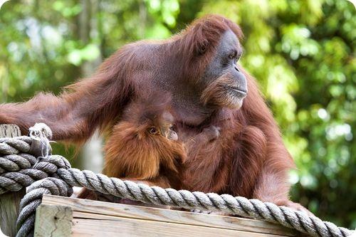 Орангутанг Рему нашел приемную маму