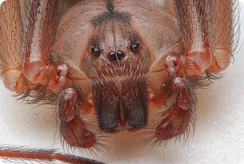 Америку атакуют пауки-убийцы