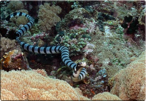 Единобрачие самок морских змей