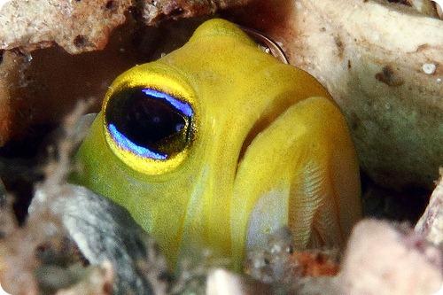Желтоголовый широкорот