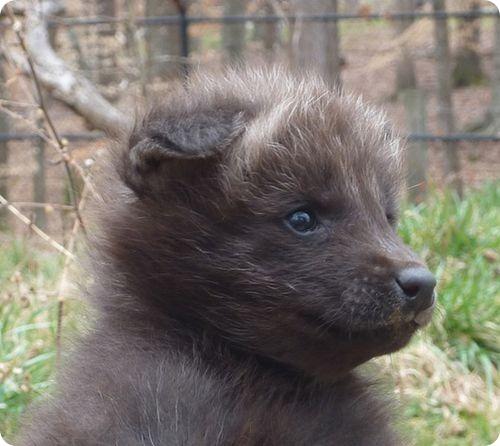 Самке гривистого волка выбирают имя