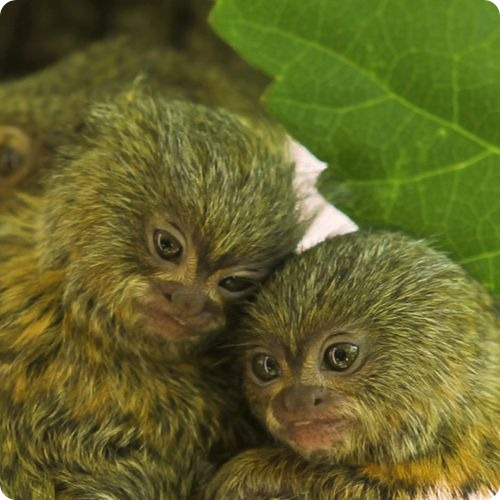 Самые маленькие обезьяны родились в зоопарке Перта