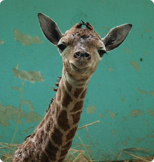 Как сказать «жираф» по-китайски?