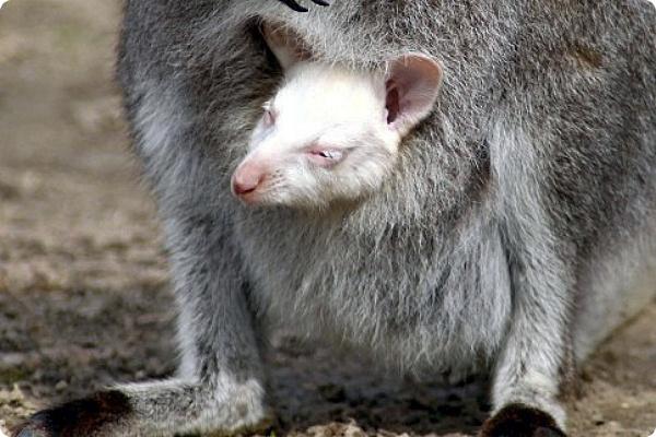 Кенгурёнок-альбинос - звезда зоопарка