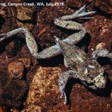 Хвостатые лягушки