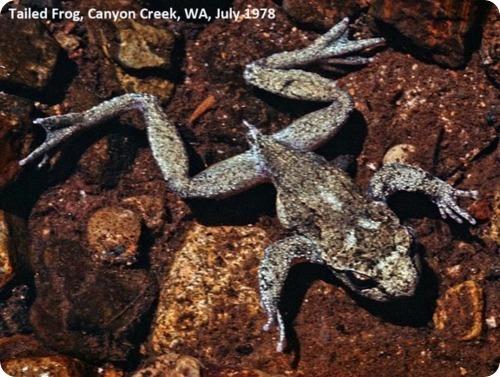 Необычные тихони – хвостатые лягушки