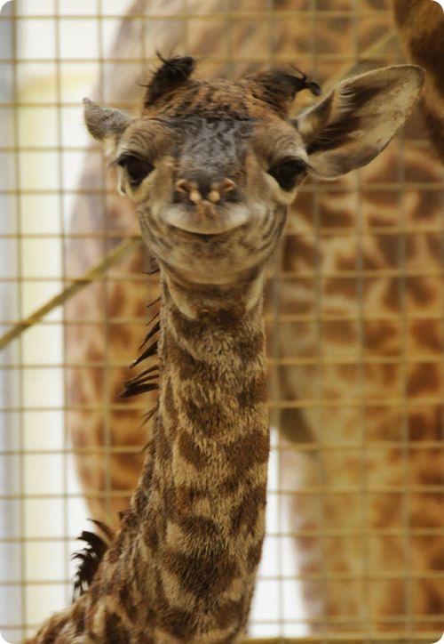 Первый жираф за 26 лет