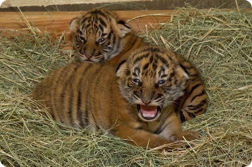 Малазийские тигрята в первый раз открыли глазки