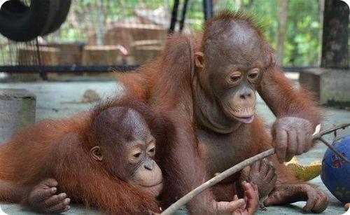Спасая Индонезийских орангутангов