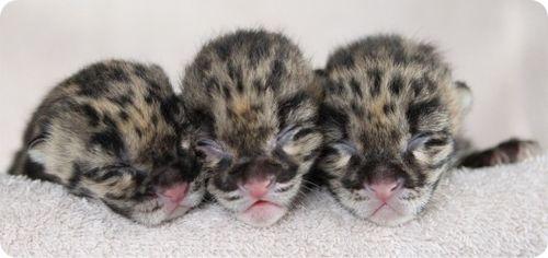 Трио дымчатых леопардов в Нэшвилле
