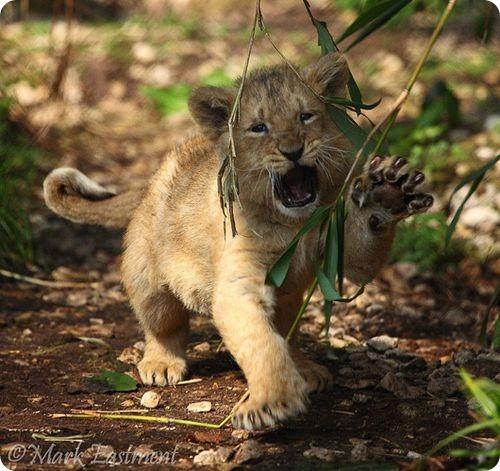 Как поживают азиатские львята?