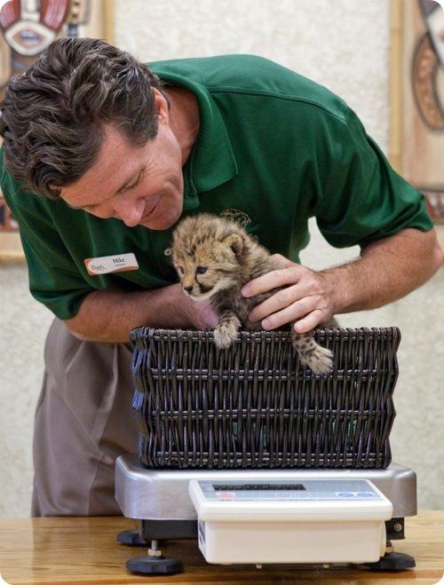 Детеныша гепарда выкормят вручную