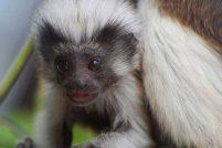 Эдипов тамарин в британском зоопарке
