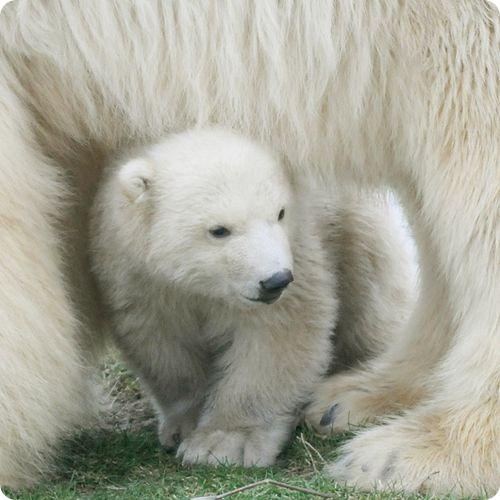 Дебют белого медвежонка Викса
