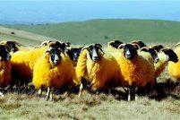 Специальный окрас у овец