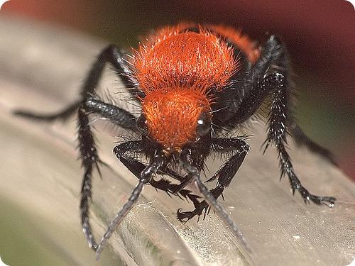 Осы-немки, или красные бархатные муравьи